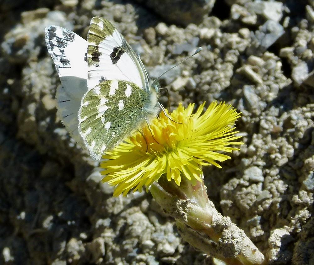 *les ailes du printemps*