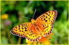 Les ailes flamboyantes....
