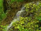les ancolies aux cascades de Roquefort