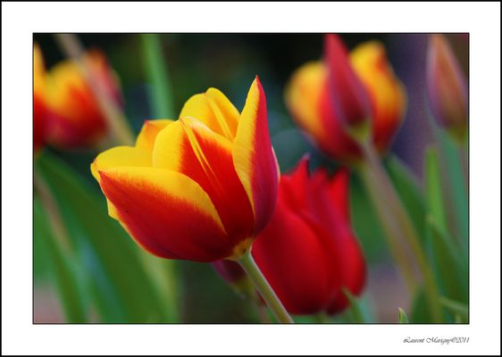 Les bébés tulipes sont nés.