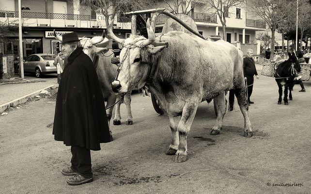 Les bœufs (celles réelles)