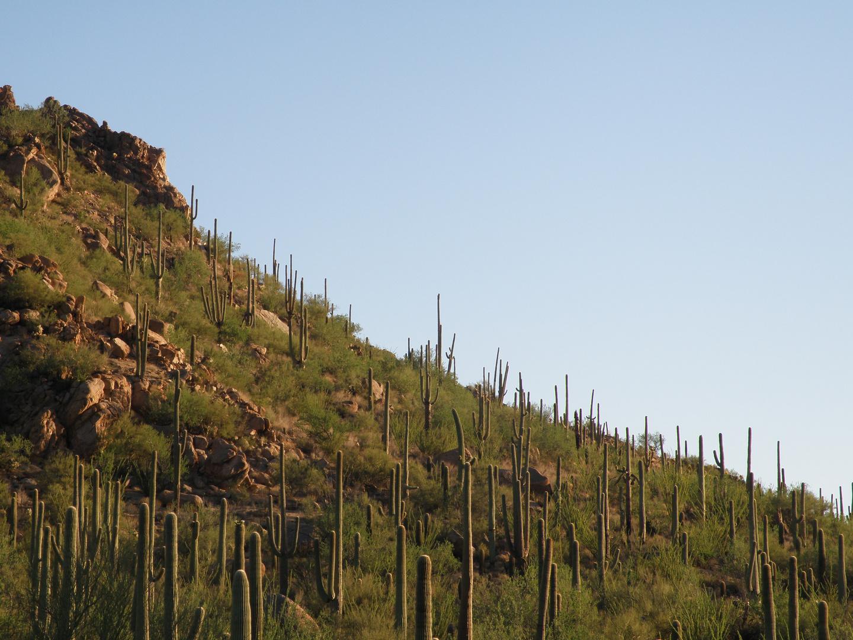 Les Cactus d'Arizona