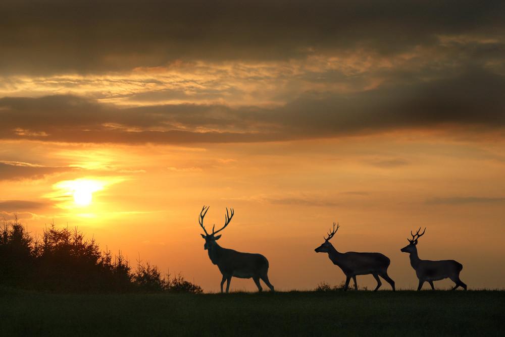 Les cerfs sortent le soir.