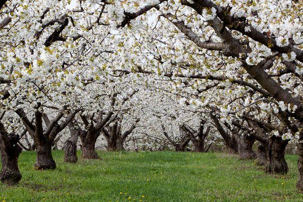 Les cerisiers de ma colline