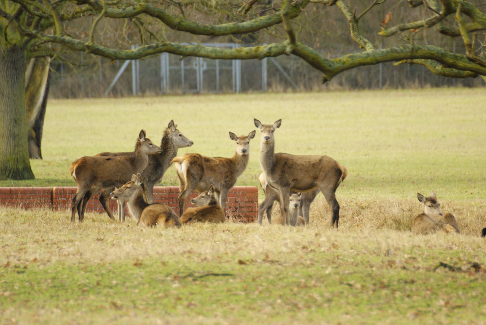 Les cervidés de la Reine!!! parc de Windsor, Londres