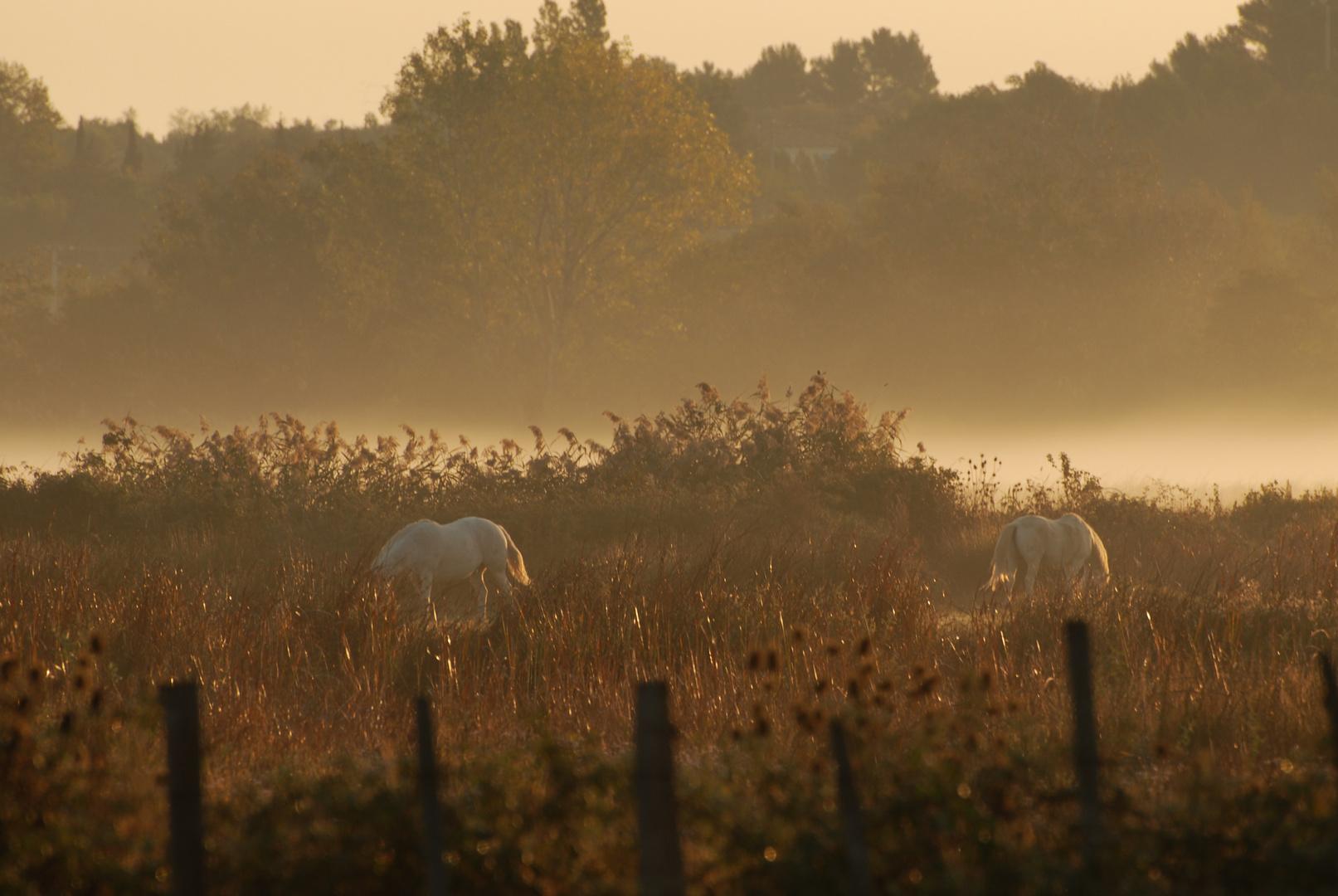 Les chevaux de Camargues au petit matin
