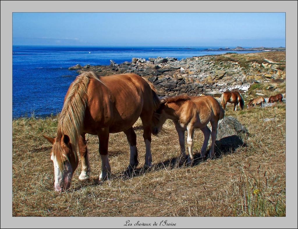 Les chevaux de l'Iroise
