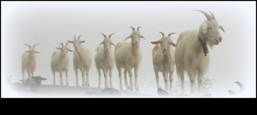 les chèvres du paradis