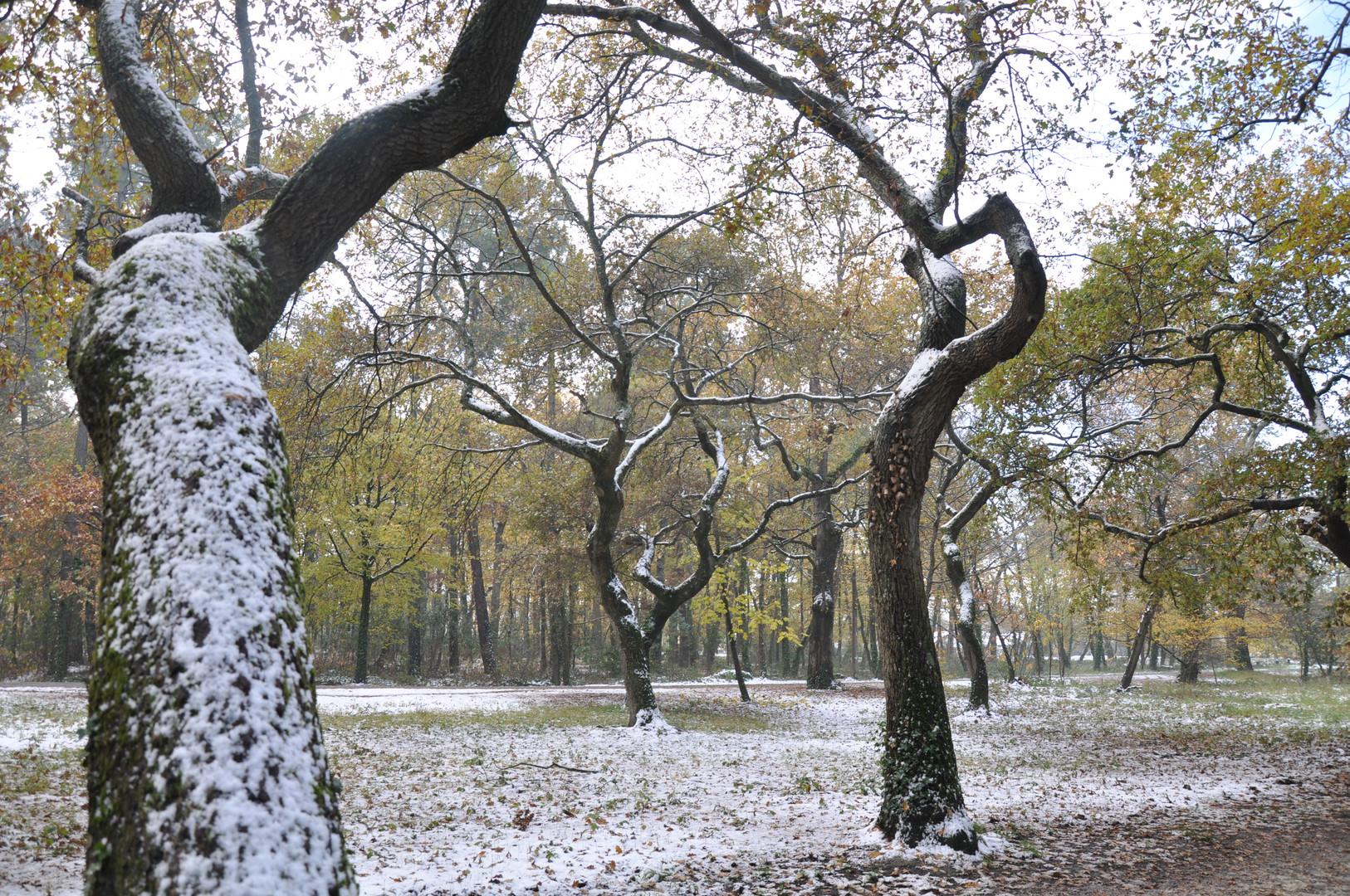 les chênes-neige