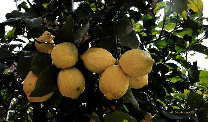 Les citrons de mon jardin sur les pentes de l'Etna