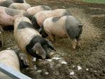 Les cochons basques aux ALDUDES