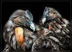 Les condors.