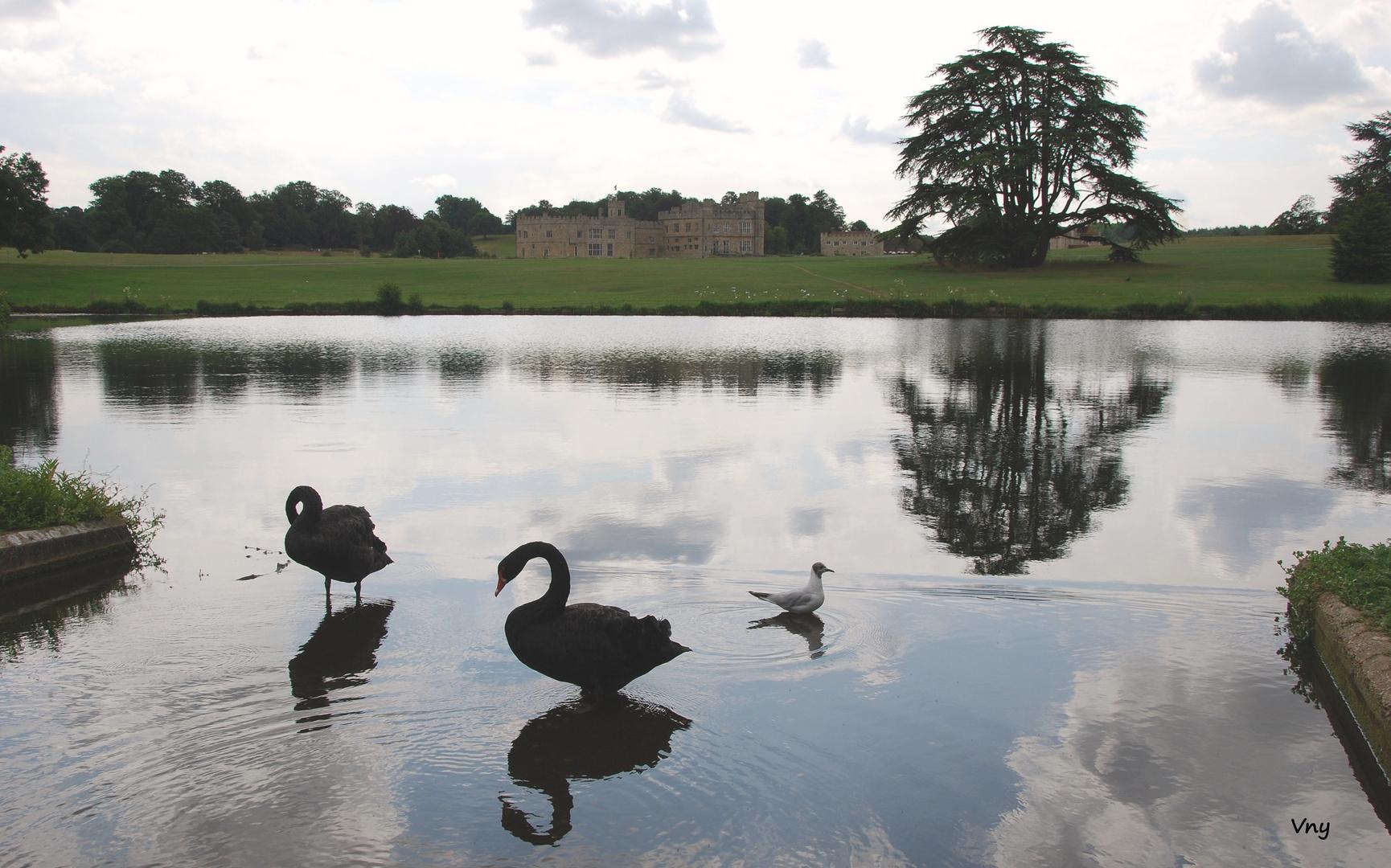 Les cygnes noirs du chateau de Leeds, Kent, UK