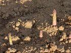 """""""les demoiselles du printemps"""" sortent de terre, pour la joie de nos papilles....."""