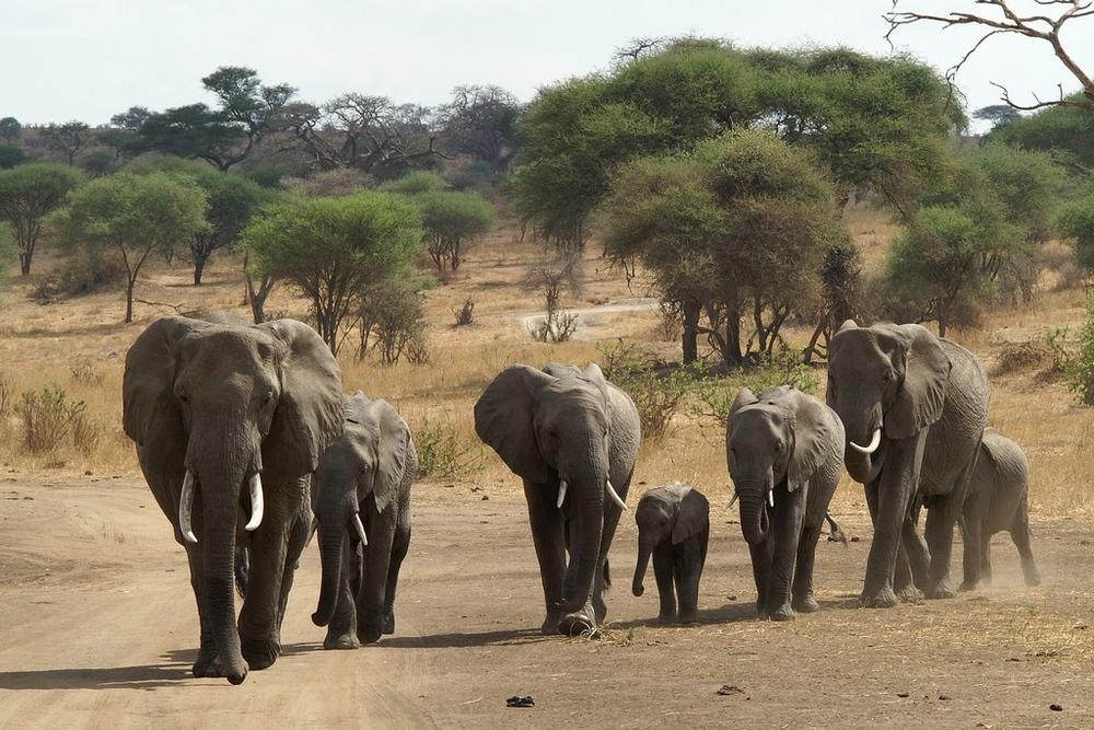 Les Eléphants de Tanzanie-1