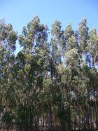 Les eucalytus de Fatima