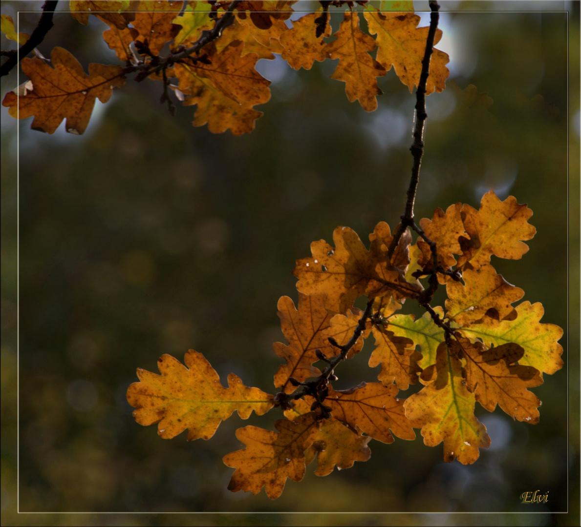 Les feuilles du grand chêne