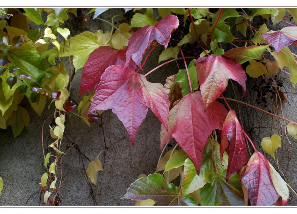 les feuilles sur le vieux mur