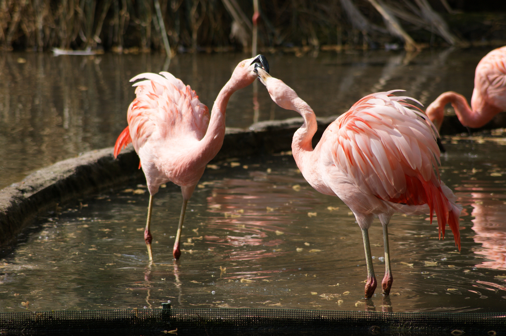 les flamants roses en colere