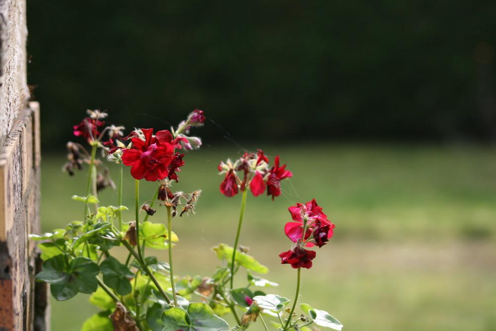 Les fleurs de la voisine 3
