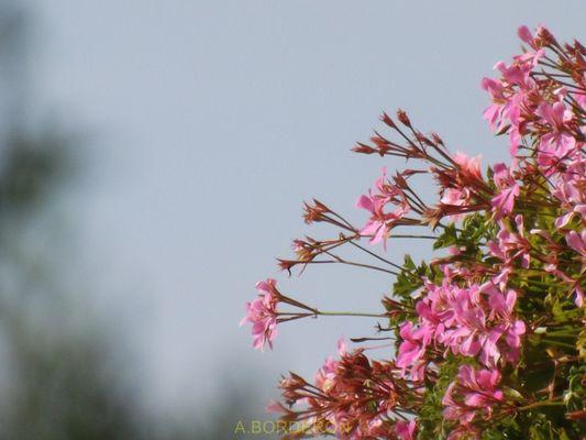 Les fleurs de la voisine...
