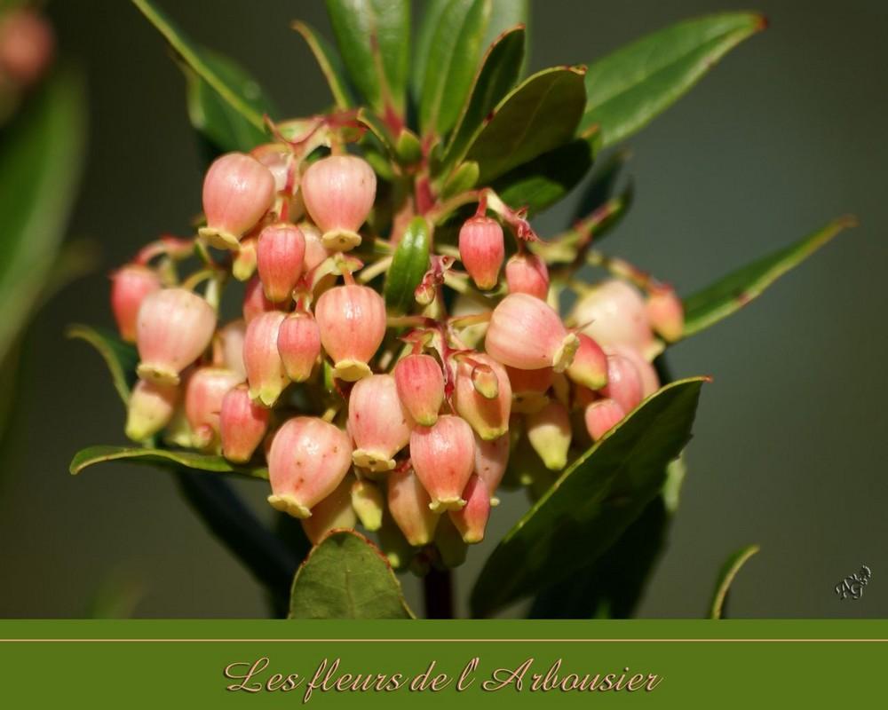 Les fleurs de l'arbousier