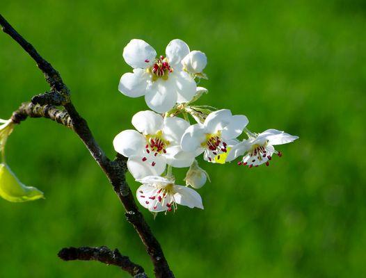 Les fleurs de poirier