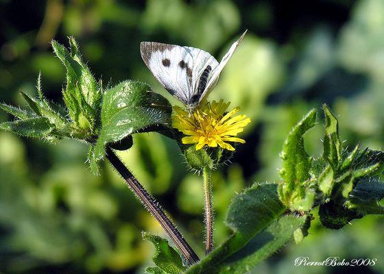 les fleurs et le papillon blanc