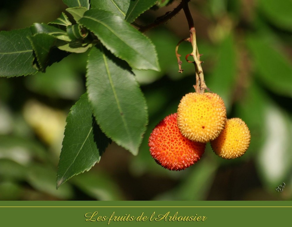 les fruits de l'arboursier