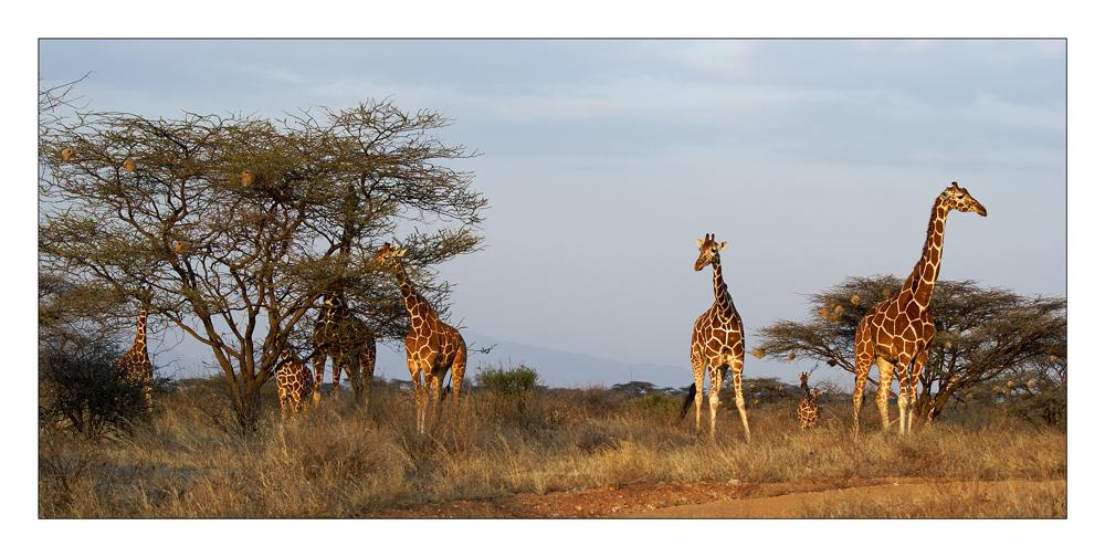 """""""les girafes réticulées du parc Samburu"""""""