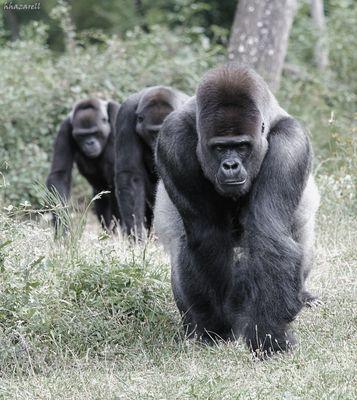 les gorilles à l'heure de la soupe!