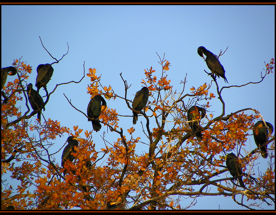 Les grands cormorans