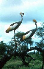 Les grues perchées( Kenya )