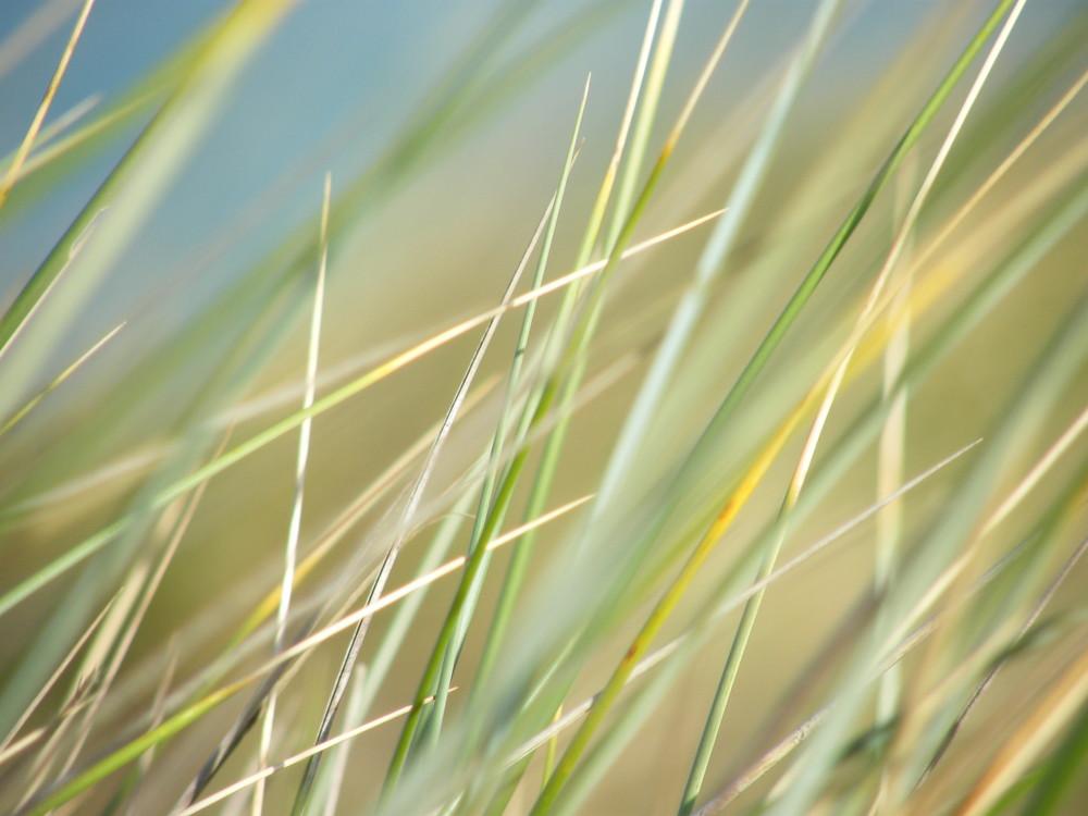 les herbes sur les dunes