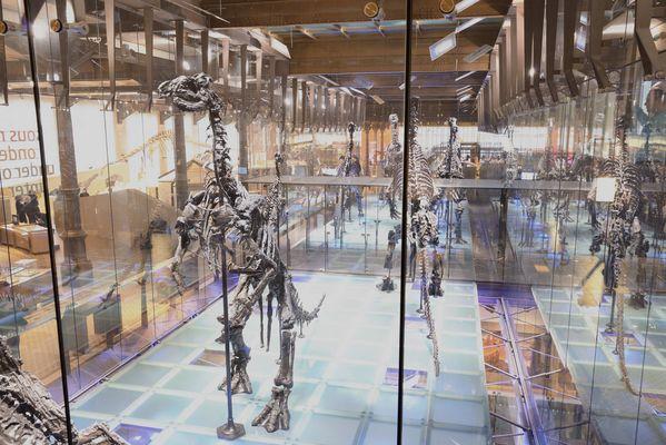 Les iguanodons