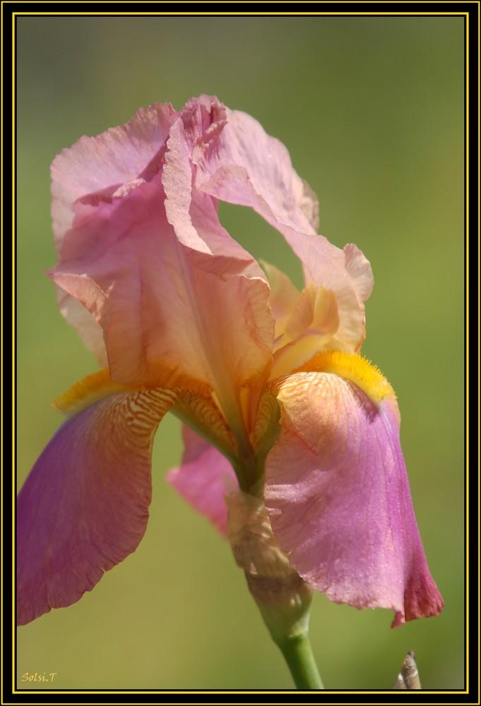 les Iris de madame Mim