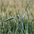 les jeunes blés
