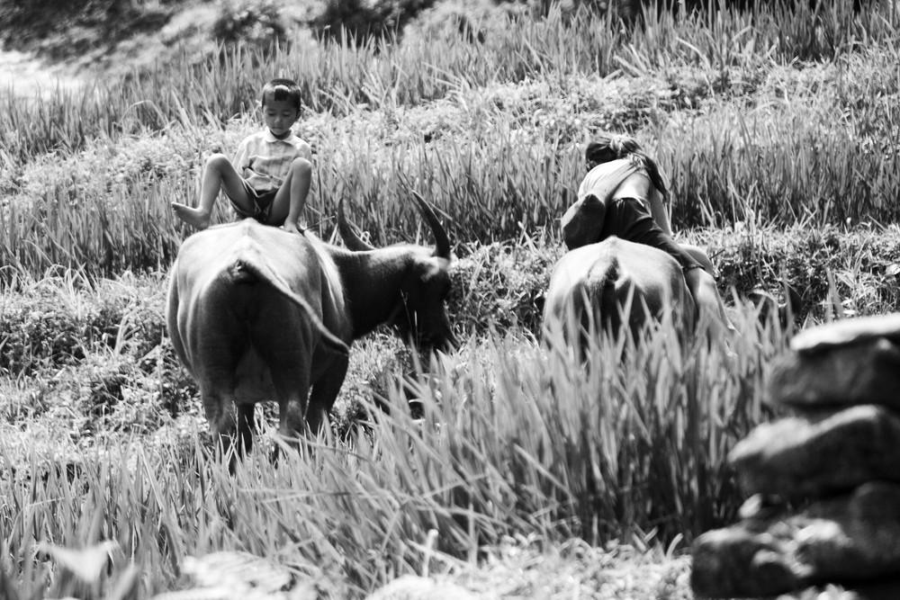 les jeunes gardiens de buffles (Vallée de Sapa, Nord Vietnam)
