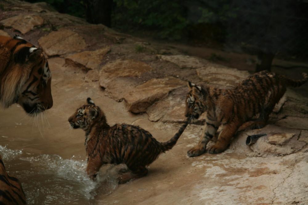 les jeux du tigre