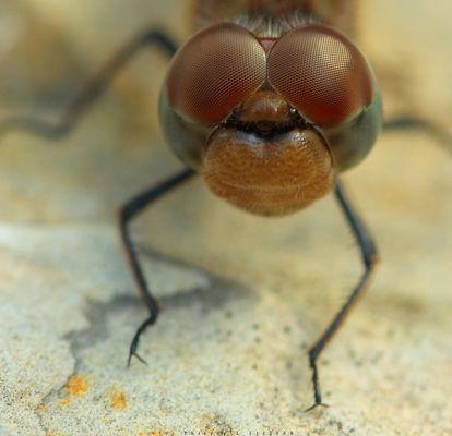 les libellules, ferment elles les yeux ??? ;)))