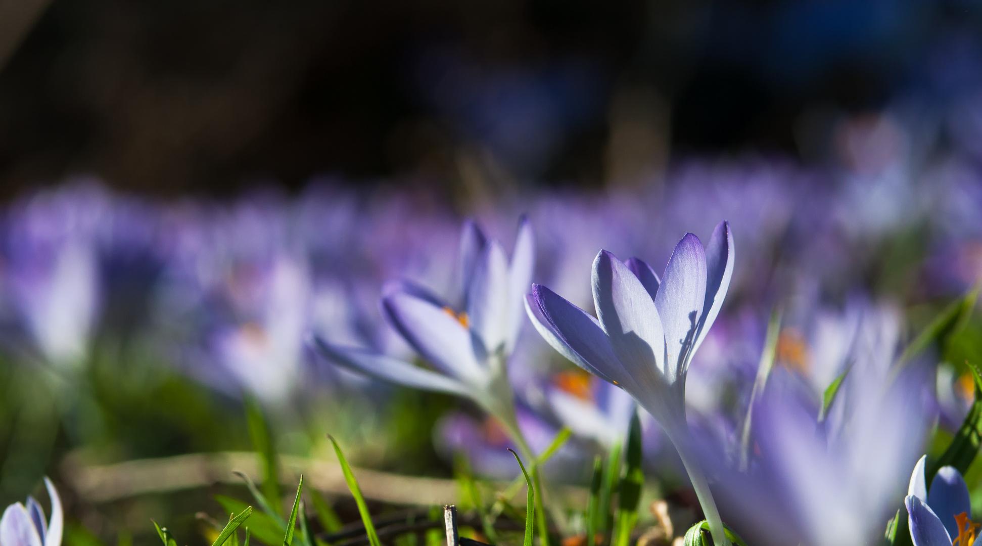 les lilas au Printemps