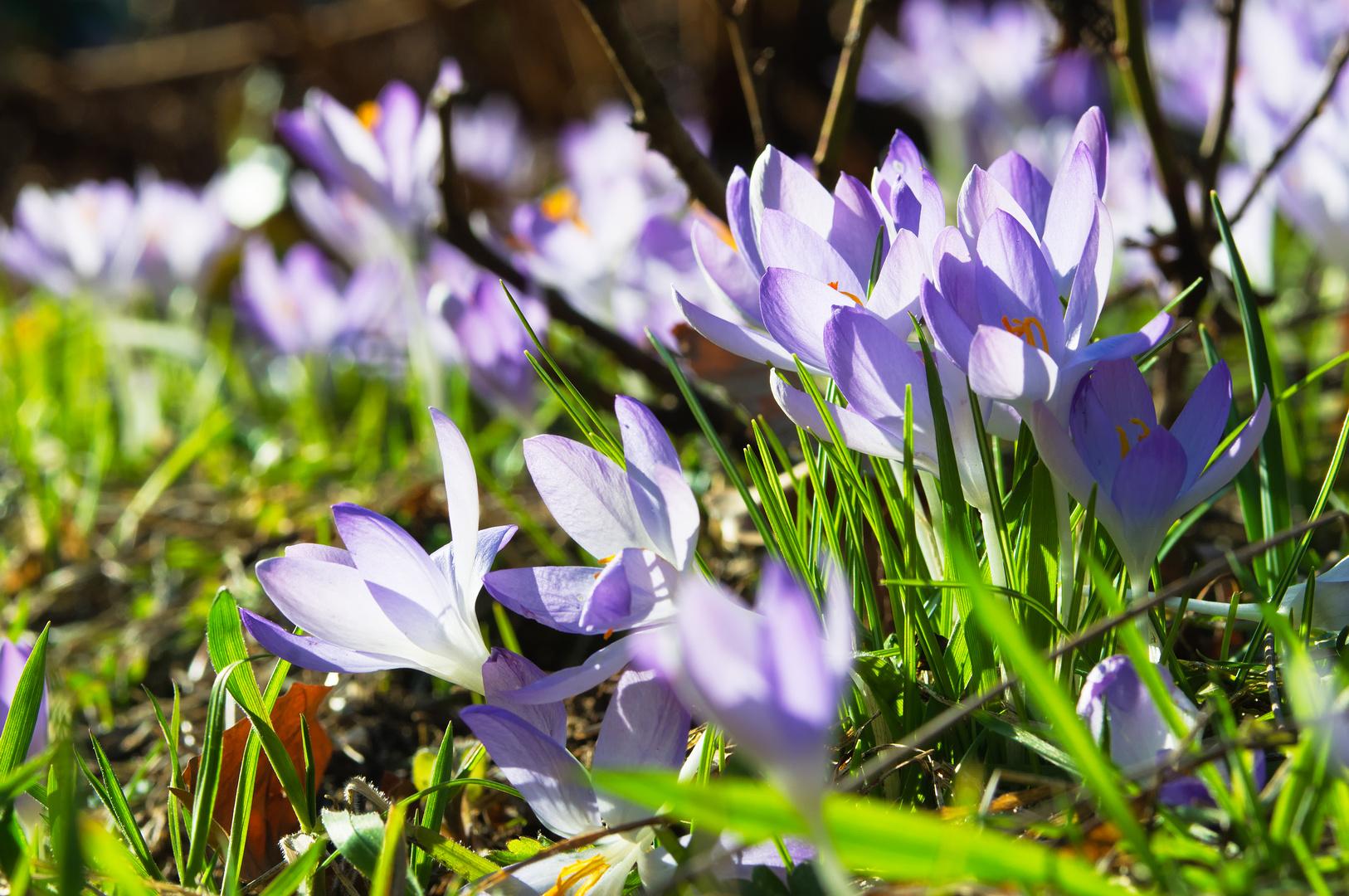 les lilas au Printemps II