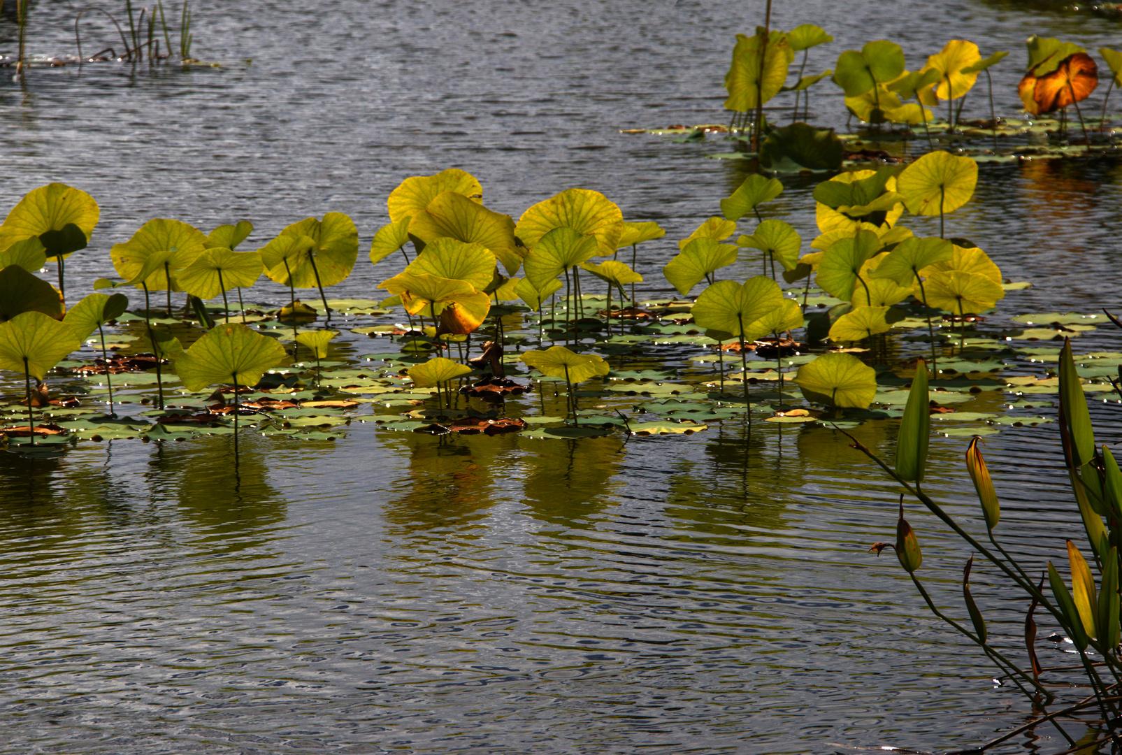 Les lotus -