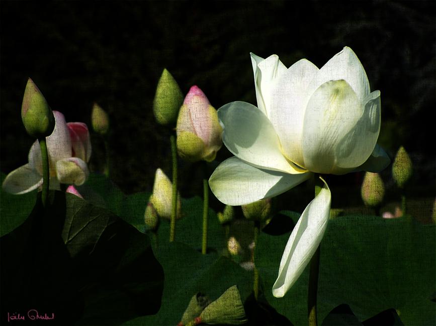 Les lotus du parc floral