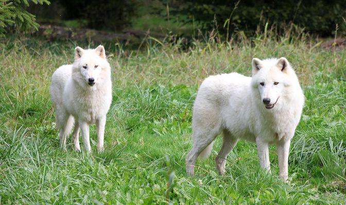 Les loups blancs