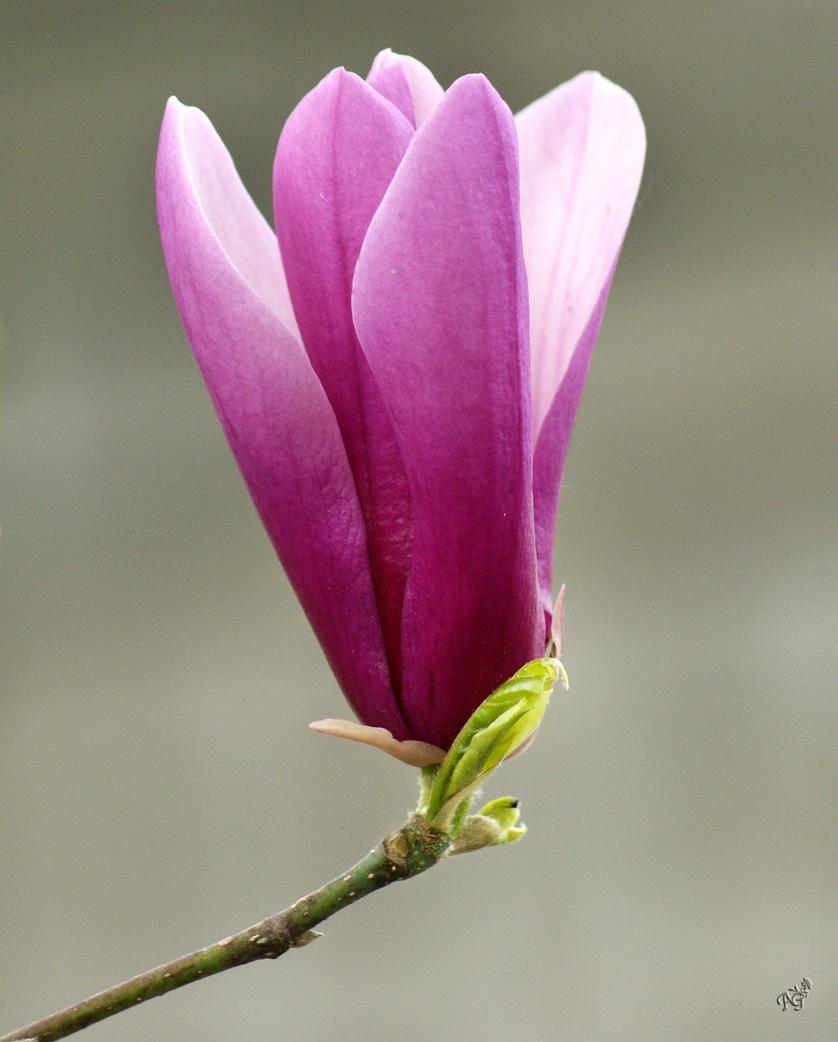 Les magnolias ....