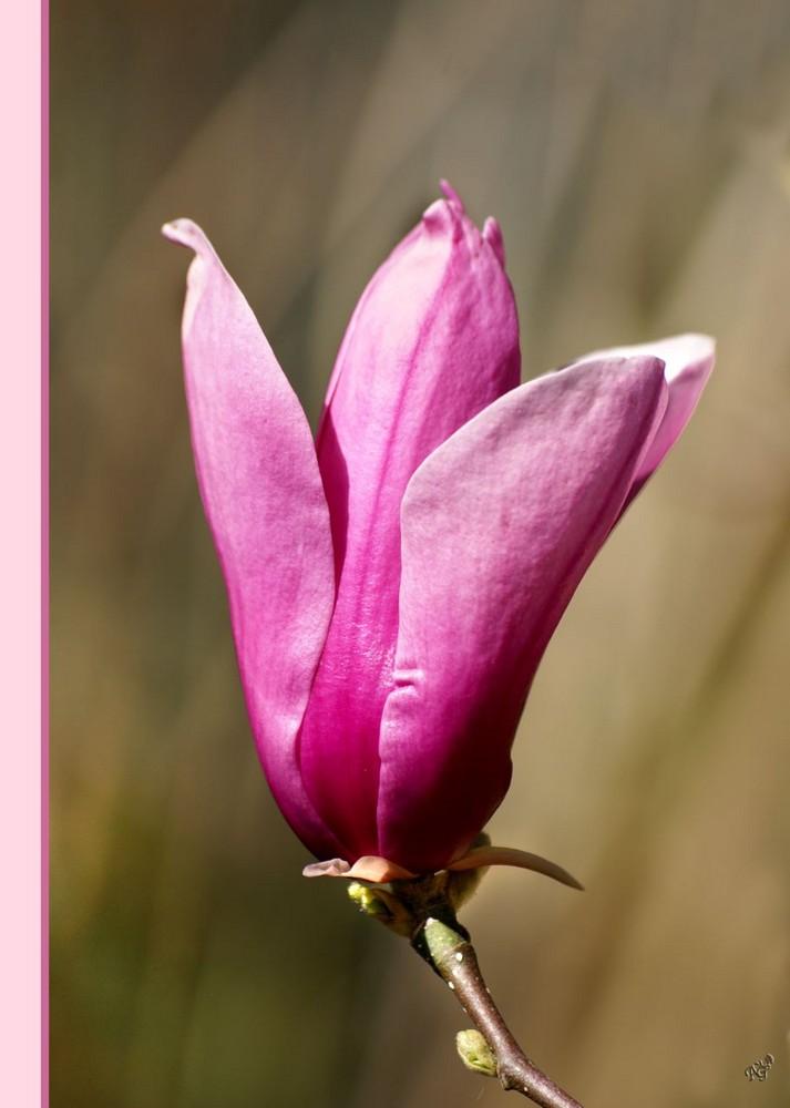 Les magnolias....... au jardin d'Aline