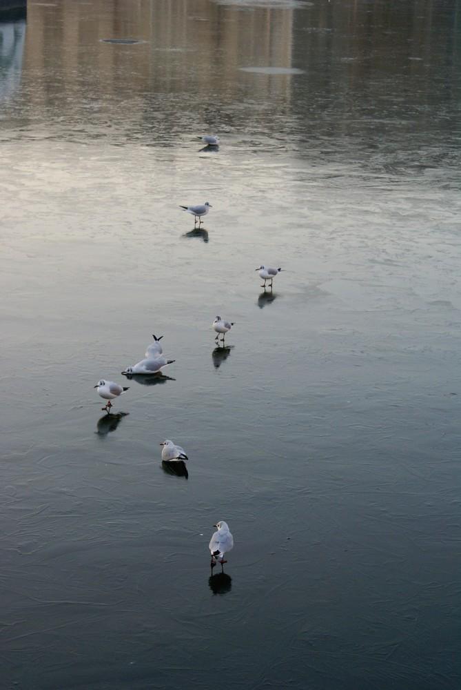 les mouettes sur le bassin gelé