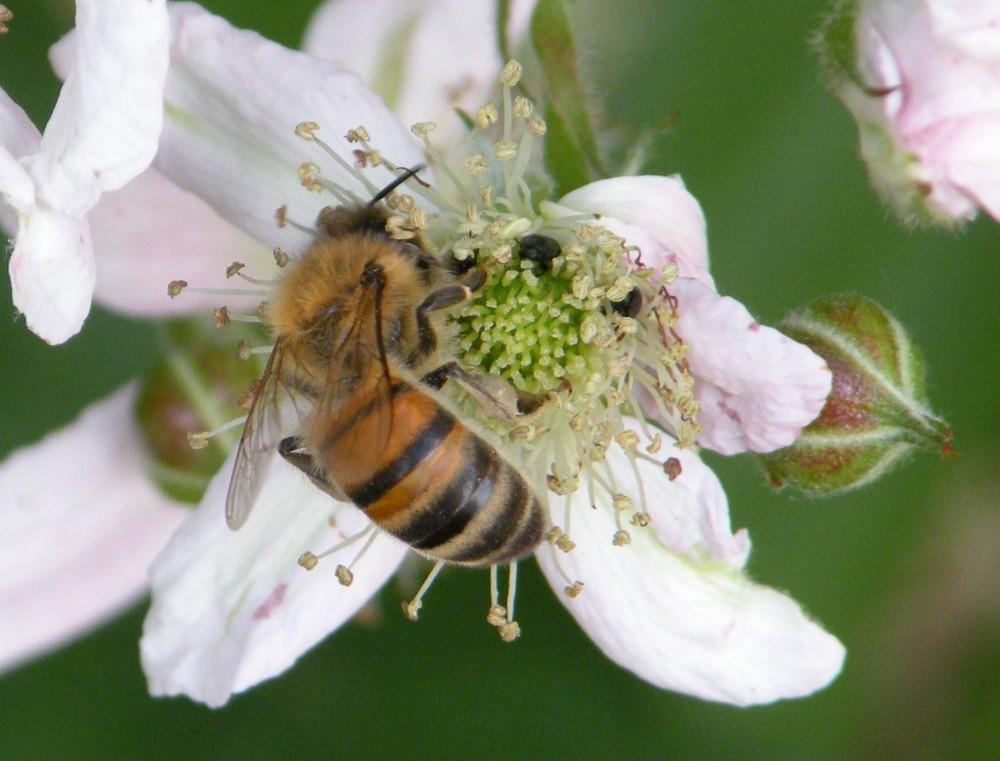 """""""Les mûres pour les hommes, les fleurs pour les abeilles"""""""