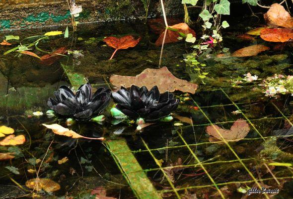 les nymphéas noirs